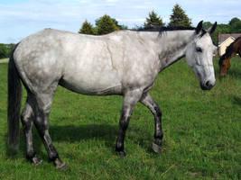 Grey-HorseStock--Charlie by Crackerbrack-stock
