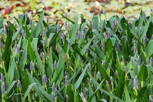 Hyacinths by MPMedia
