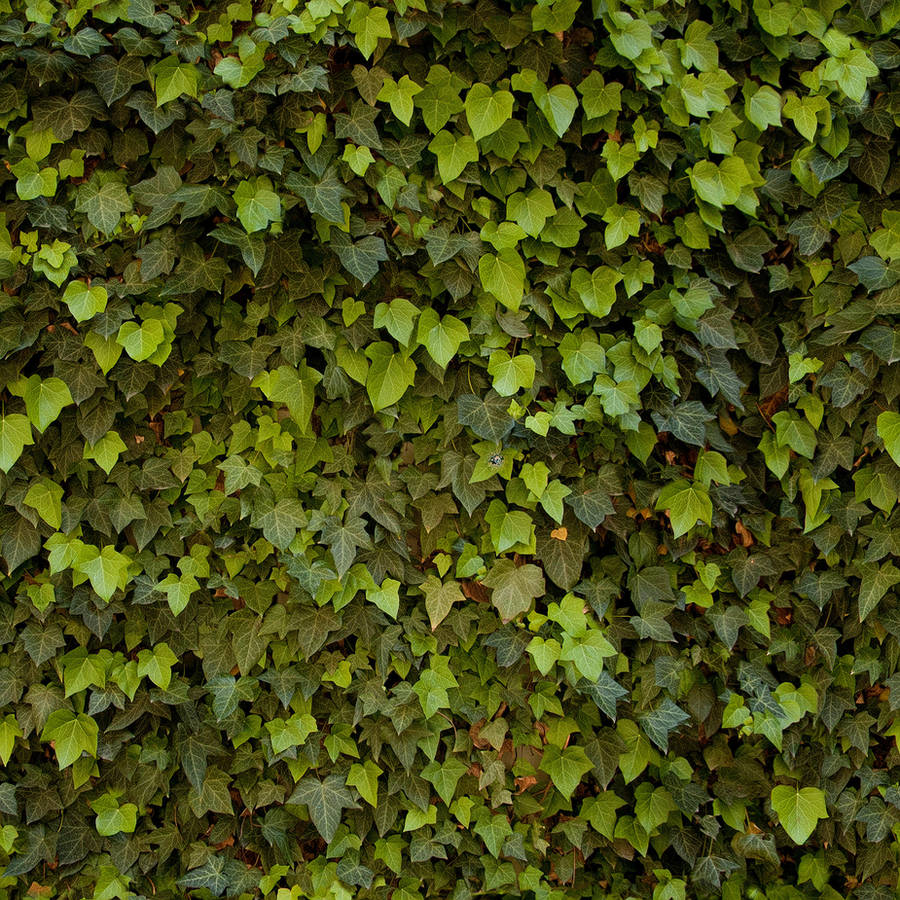 Tiling Ivy Texture by roseenglish