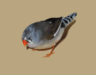 Pied Zebra Finch by Uralowa