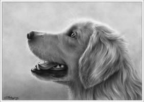 Golden Retriever - Where's my treat? by Zindy