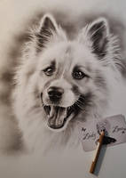 Bailey the Icelandic Sheepdog by Zindy