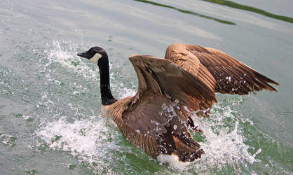 Goose Landing in Water by VBeaudryPhotography