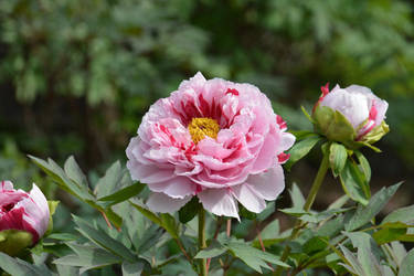 Peony by andy3004