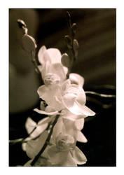 Orchid by morganaarau
