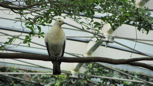 Pied Imperial Pigeon by greenytijana