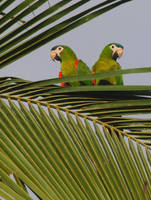 Noble Macaws by sebastopolgoose