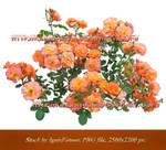 Roses_ Stock Flowers by IgnisFatuusII