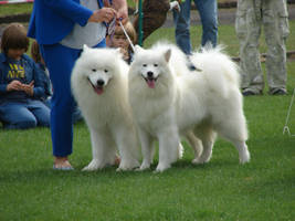 Couple of white dogs by Cyklopi