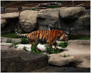 Tiger by Sugargrl14