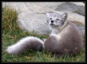 Arctic Fox at Langedrag by Lejonlurv