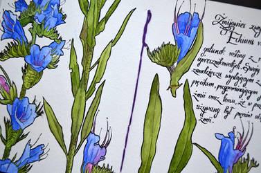 Echium vulgare by Shelter85