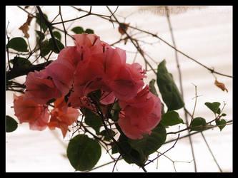 Urban Rose by Manual
