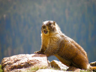 Marmot. by SilentVioletFire