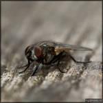 Housefly by andabata