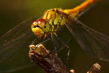 Ruddy darter by andabata