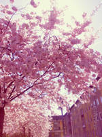 sakura trees by yuya-yo