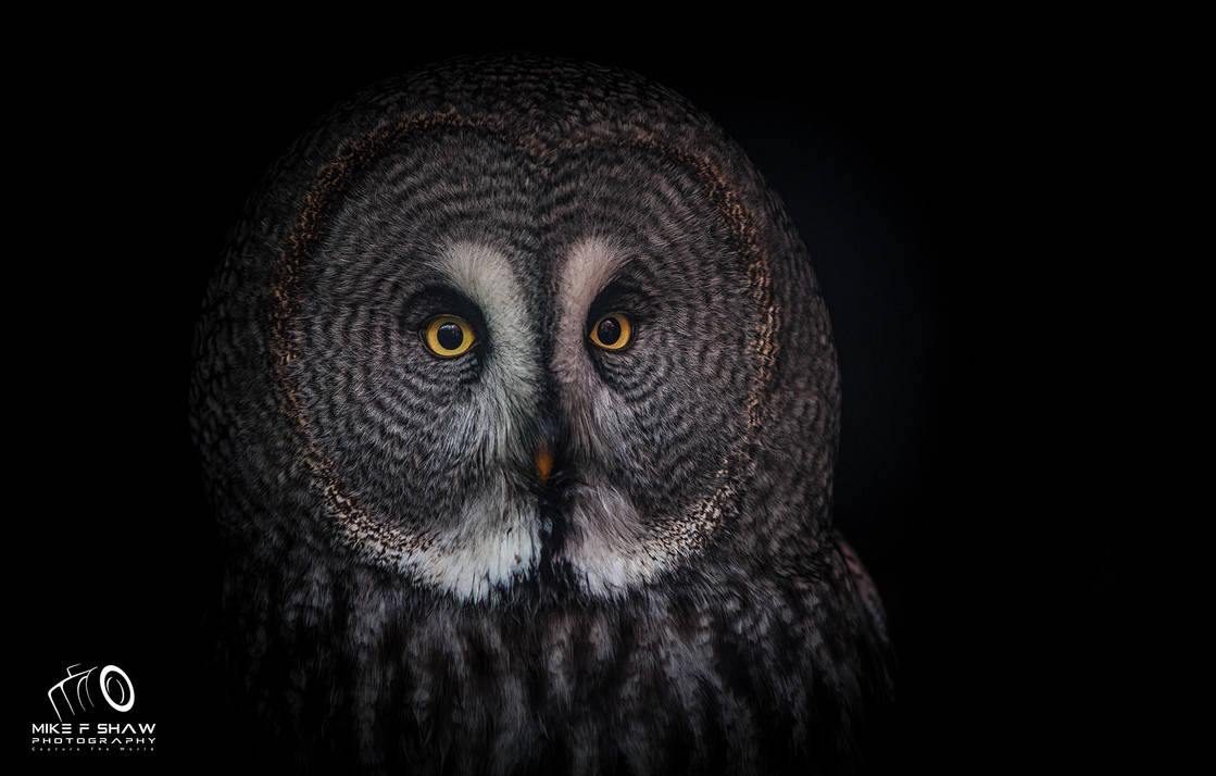 Great Grey Owl by MikeFShaw