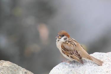 Ordinary but Cute Bird by SumairiiSan
