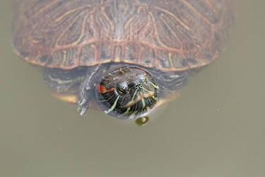 Turtle in Nara by SumairiiSan