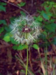 Dandelion by Zena-Xina