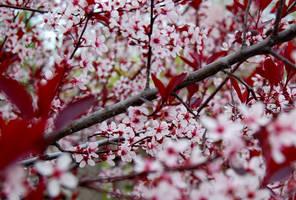 Sakura by OcularFracture