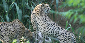 Cheetahs by superdavej