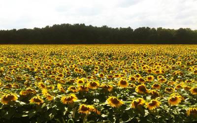 Sea of Sunflowers 2 by Angelan-sama