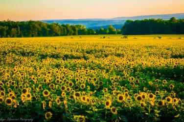 Sea of Sunflowers III by Angelan-sama