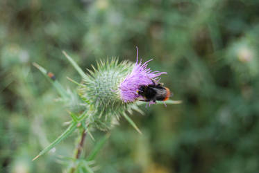 Bee on Thistle by EnisraBowman