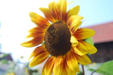 Sunflower by EnisraBowman