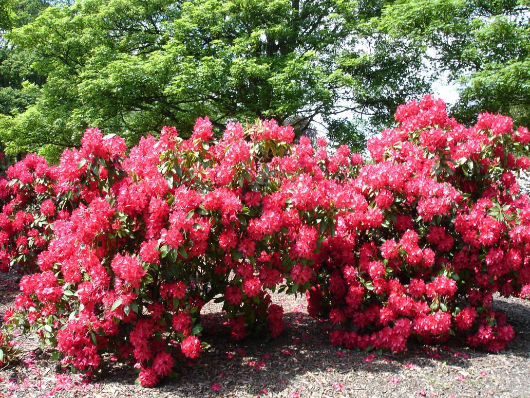 Wonderful Pink Flower Bush By Sfasmtawsbasa On Deviantart