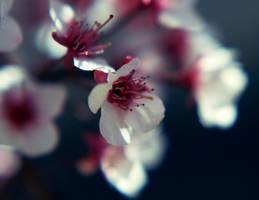 Plum Blossom by Spademm