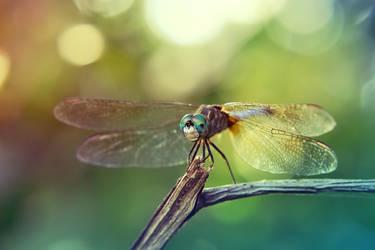 Dragonfly by Spademm