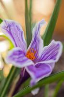 Spring Crocus by Spademm