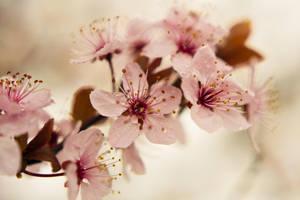 Blossom by Spademm