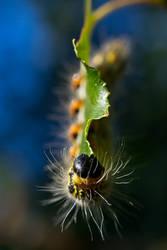 Yellownecked Caterpillar II by Spademm