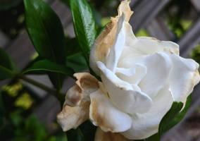 Gardenia by Naturevulpex