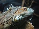 Green Iguana 739 by caybeach
