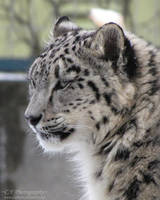 Young Snow Leopard 734 by caybeach