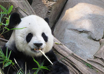 Panda by caybeach