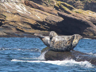 Grey Seals off Cabot Trail by caybeach