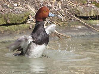 Redhead Duck by caybeach