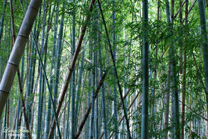 bambus by LunaFeles