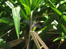 Damselfly by iwahoshi