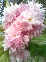 Cherry Blossom by dip-C