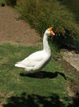 big white goose stock by Billy-jean-stock