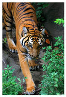 Indo-Chinese Tiger I by ewm