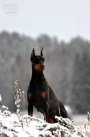 The pride of a Doberman by felill