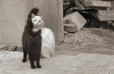 black cat white cat by bludlivijkot
